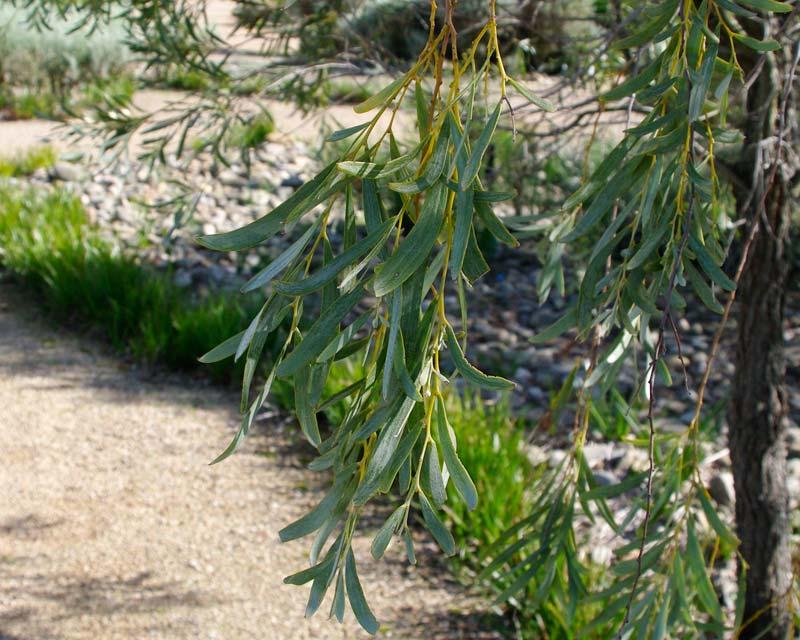 Acacia pendula foliage