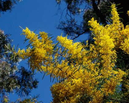 Acacia boormanii - in spring the bush will be covered with yellow flowers