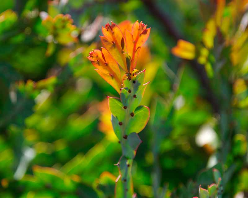 The new growth of Acacia glaucoptera looks orange with the sun behind