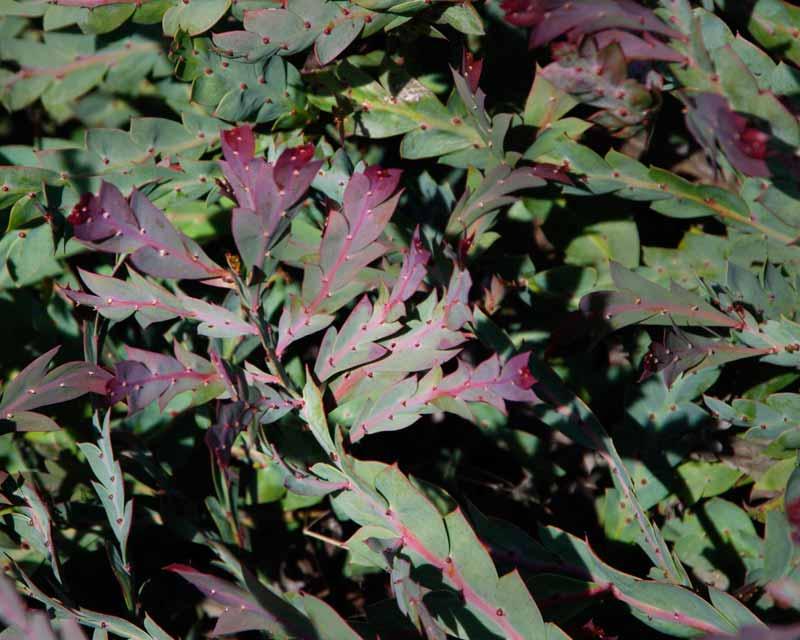 Acacia glaucoptera - new leaves have a purple tinge