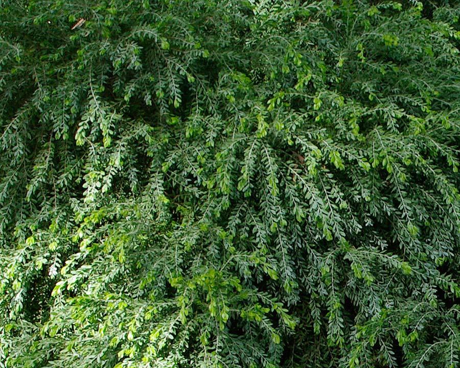 foliage of Acacia Howitii Dwarf - Honey Bun