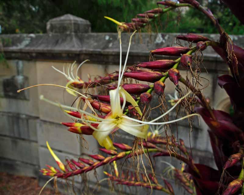 Alcanterea imperialis Rubra - Flower