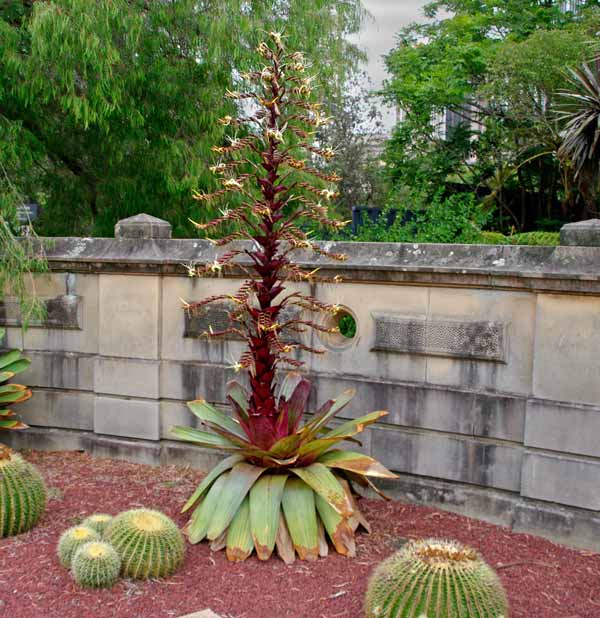 Alcantarea imperialis Rubra - red flower spike and bracts - white flowers