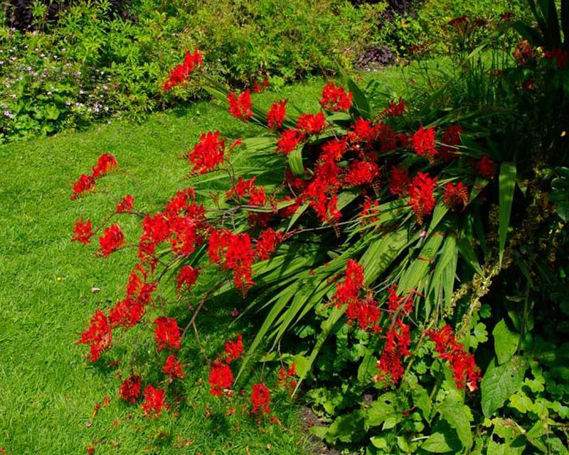 Crocosmia Lucifer as seen at Cerney House, Gloucestershire, UK