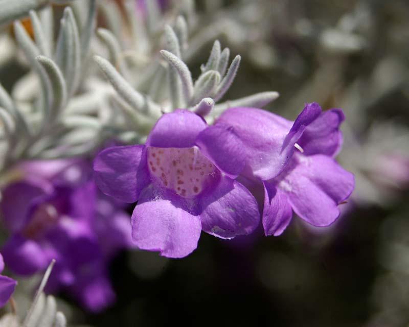 Eremophila nivea - blue/mauve two lipped tubular flowers