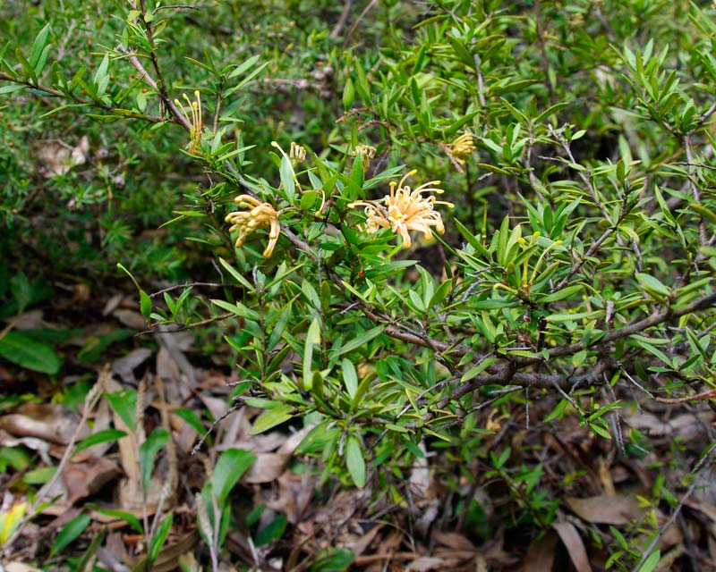 Grevillea X Goldfever is a has a low spreading growth habit