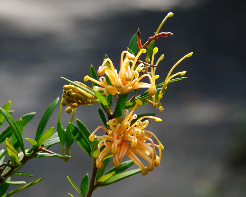 Grevillea X Goldfever has delicate yellow flowers - Canberra Botanical Gardens