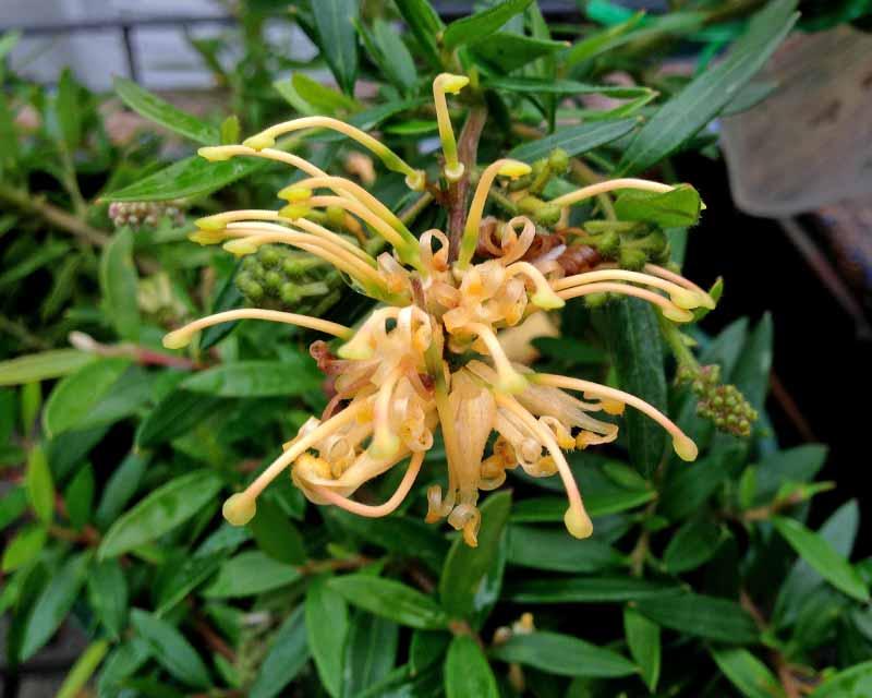 Grevillea x Goldfever has pendant yellow clusters