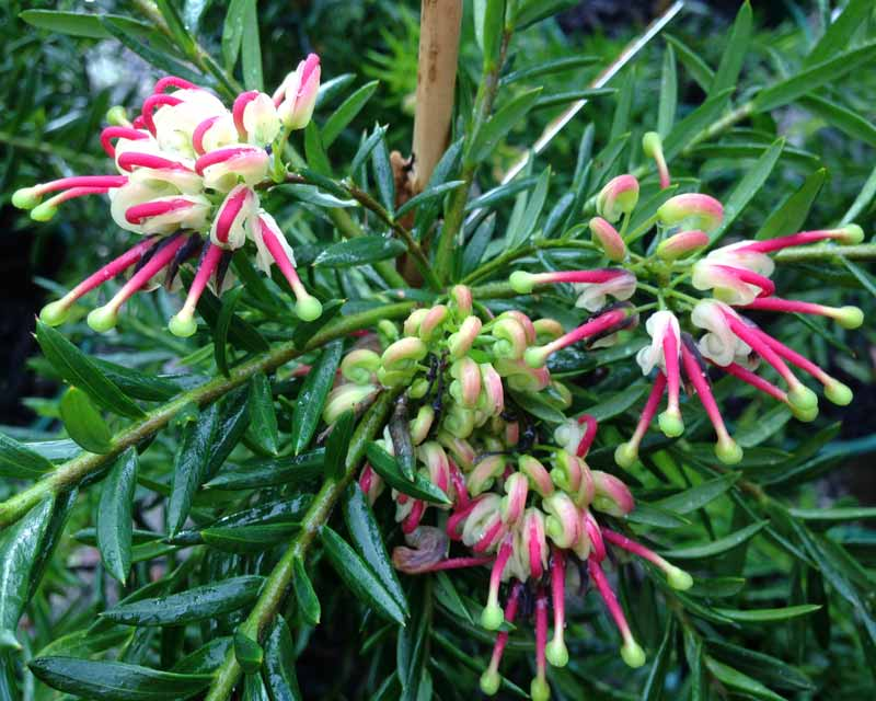 Grevillea x Hills Jubilee has cream and pink upright clusters of flowers