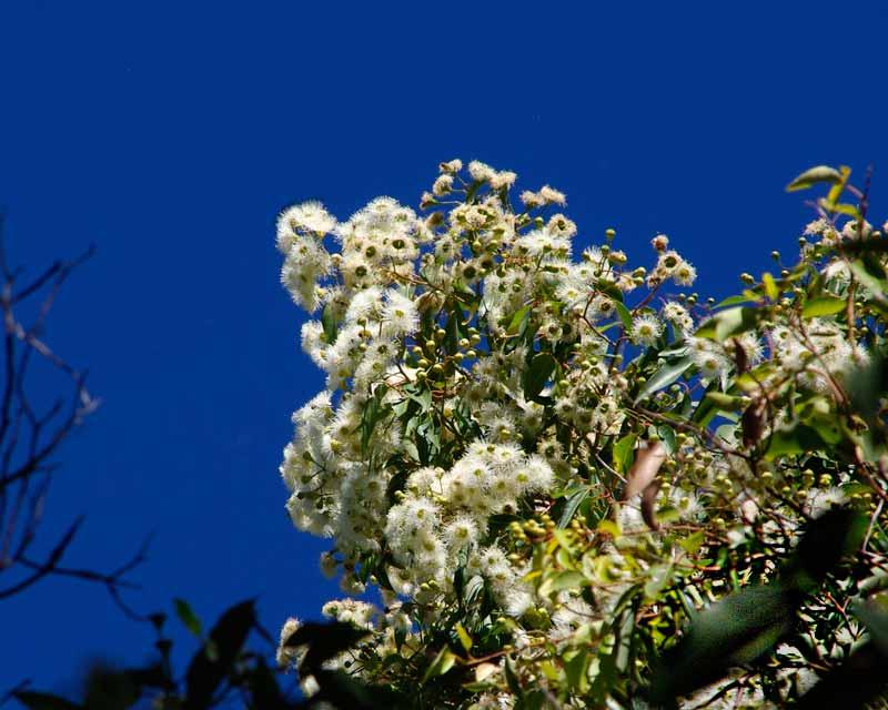 Corymbia calophylla