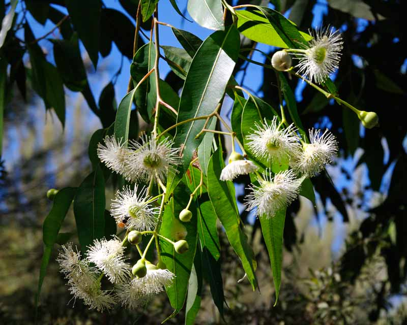Corymbia calophylla has soft white fluffy flowers