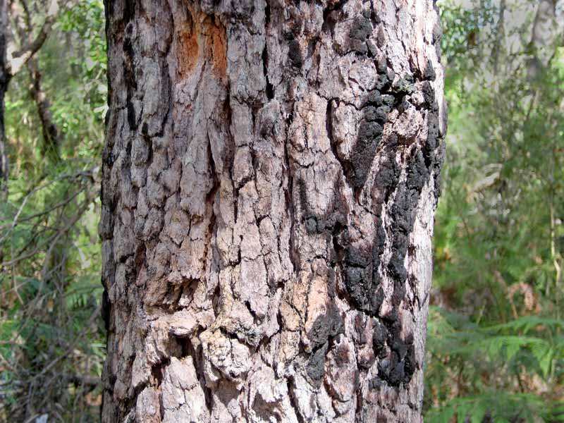 The tesselated bark of Corymbia gummifera