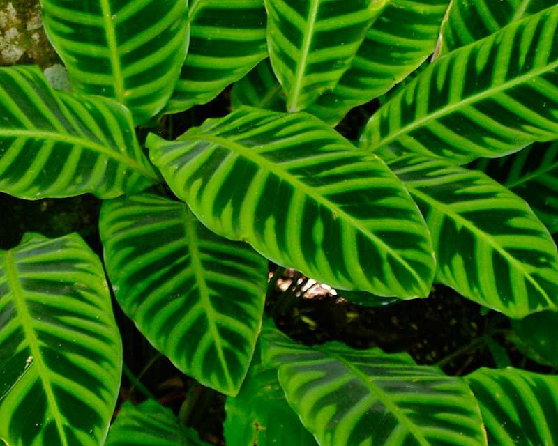 Calathea zebrina, the Zebra Plant
