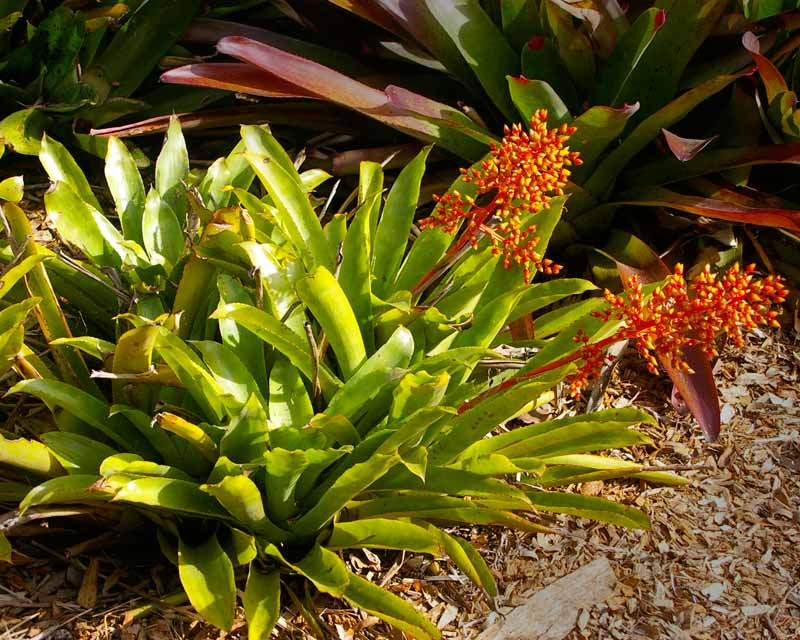 Aechmea ramosa - photo taken in Sydney Botanical Garden