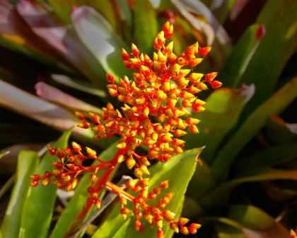 Aechmea ramosa - has a yellow and red flower head