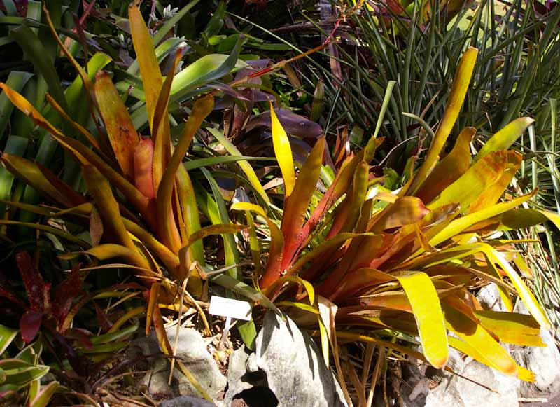 Aechmea gigantea - photo taken at Sydney Botanical Garden