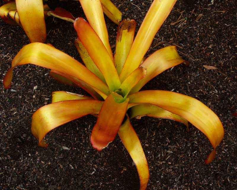 Aechmea blanchetiana