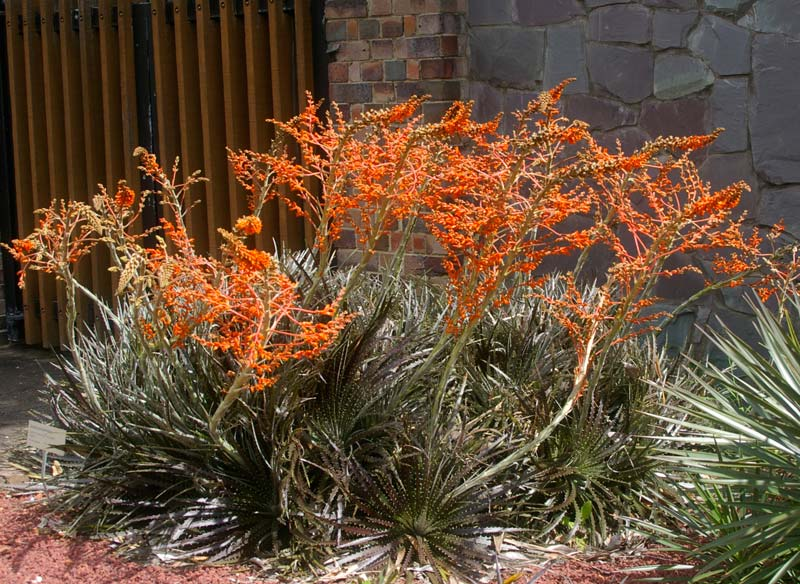 Dyckia encholirioides  panicles of orange flowers make a wonderful display above the deep olive green spiny foliage