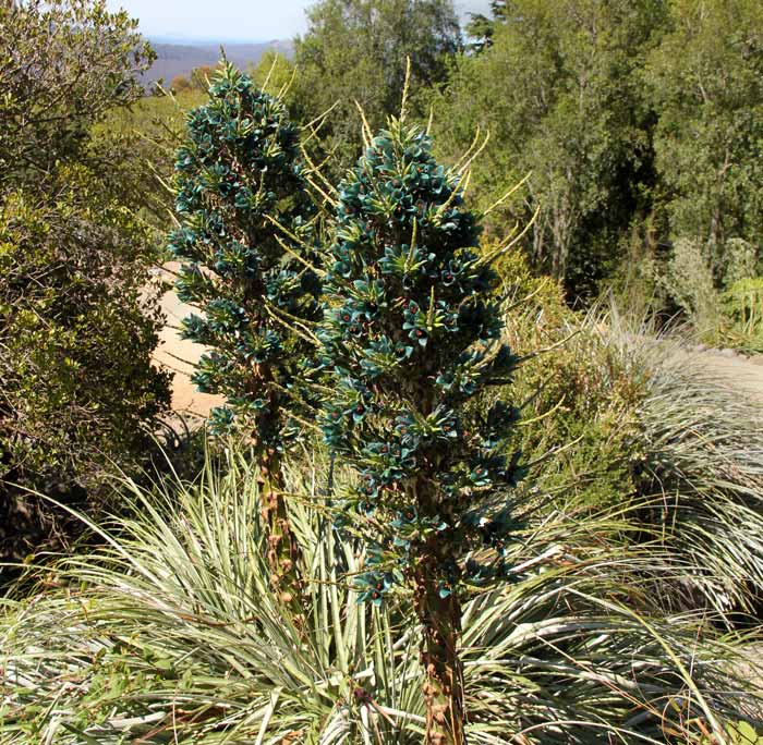Puya berteroniana- photo taken Mount Tomah Botanic Gardens