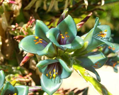 Puya berteroniana - blue green funnel shaped flowers