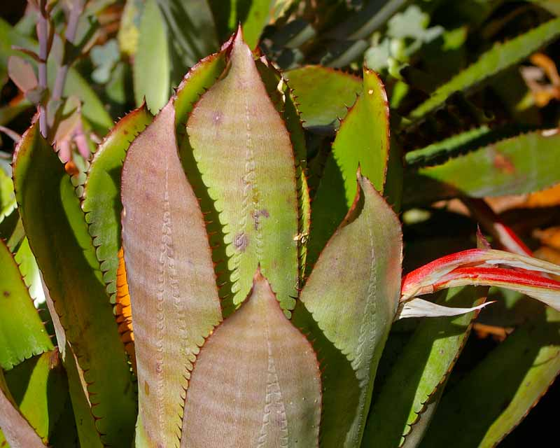 Aechmea pineliana var Pineliana - mid green leaves with brown spines and grey banding on underside