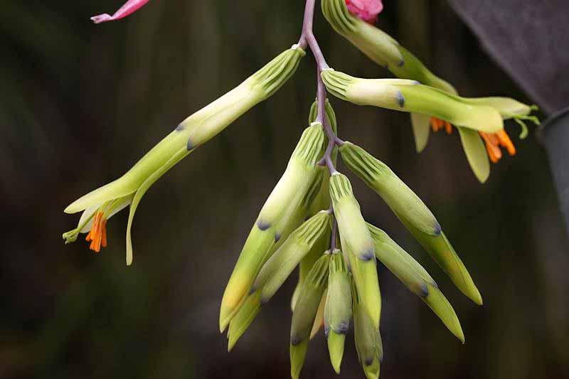 Billbergia distachia - photo taken by Bocabroms