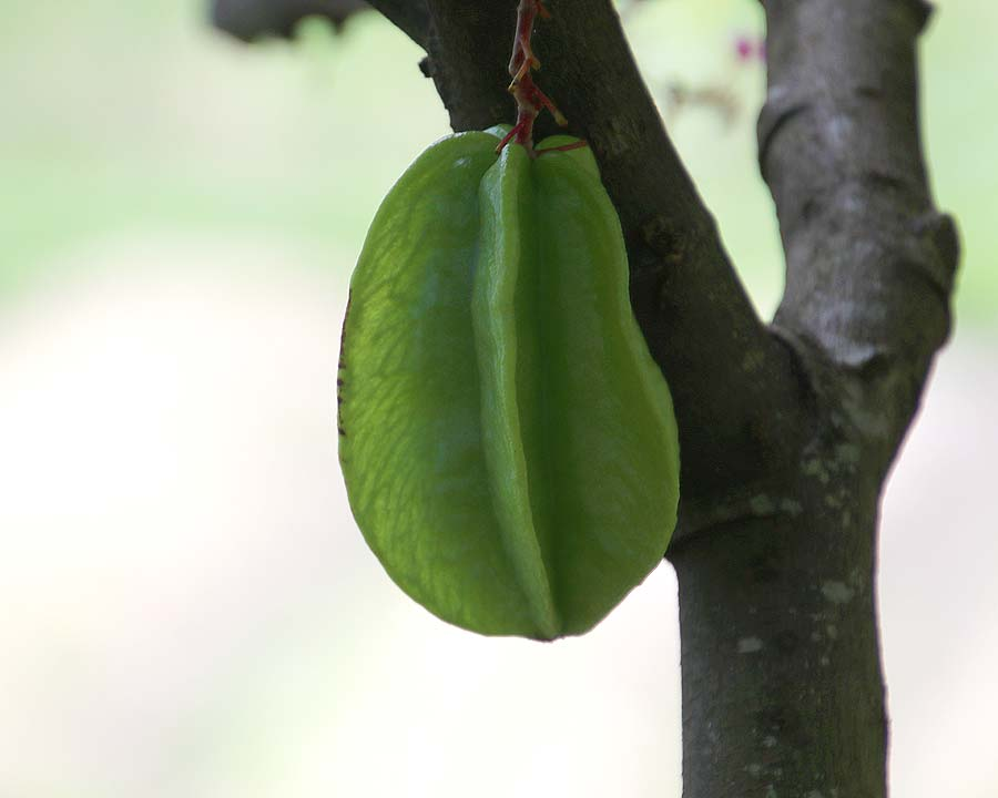Averrhoa carambola, Star Fruit