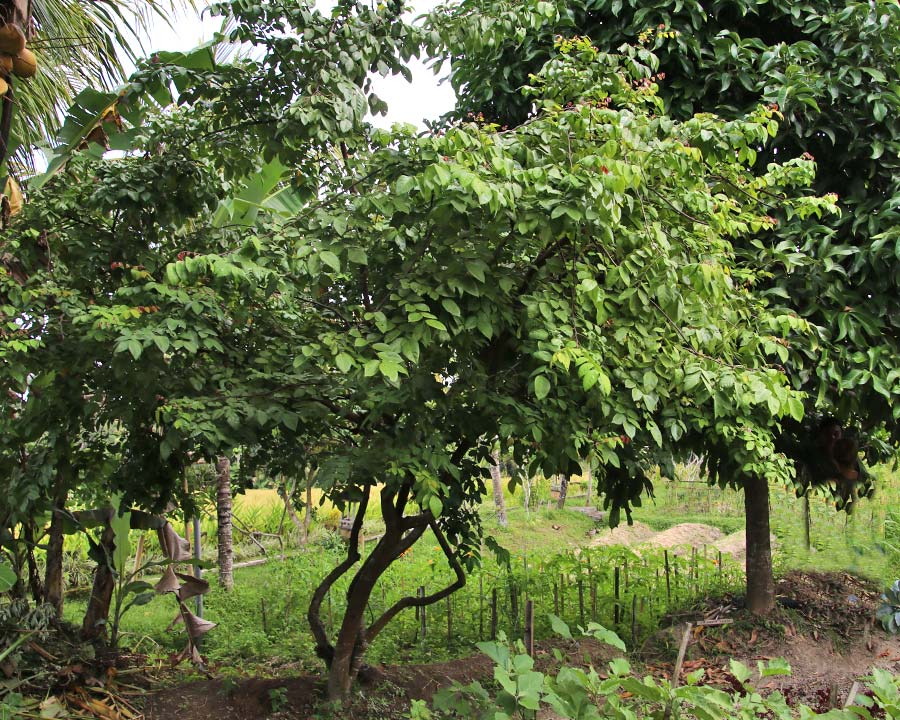 Averrhoa carambola, Star Fruit Tree growing in Bali