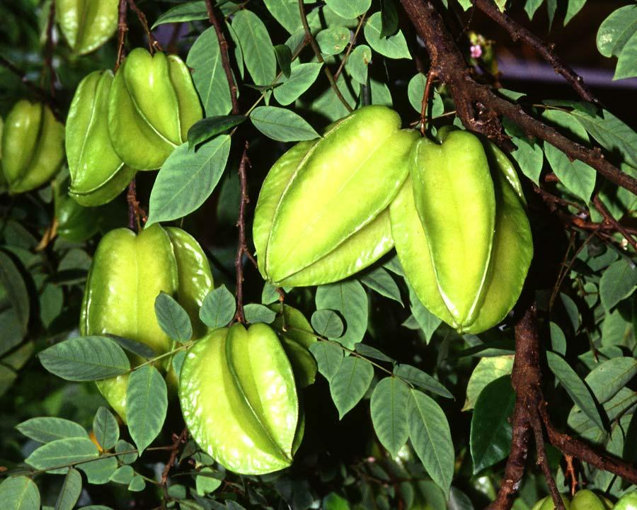 Averrhoa carambola 'Starfruit'