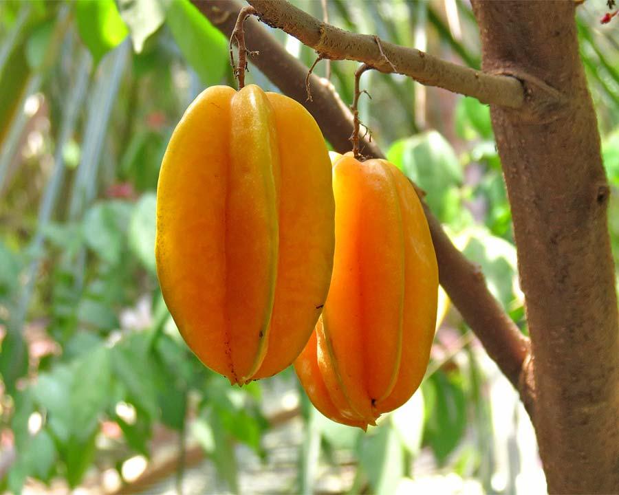 Averrhoa carambola - Starfruit