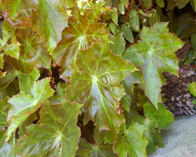 Begonia Immense - has large ovate and lobed shiny pale green to olive leaves.