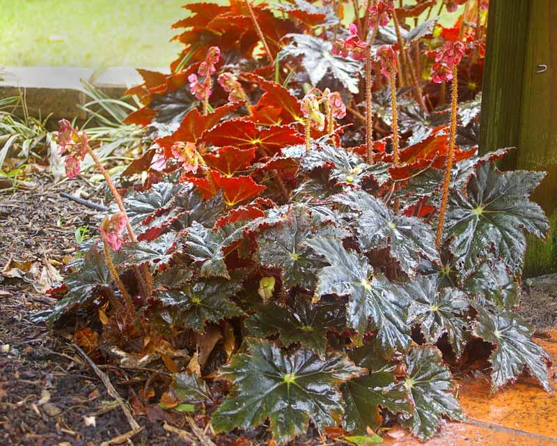 gardensonline begonia rhizomatous group