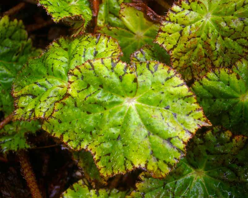Begonia rhizomatous hybrid 'Les Findley'