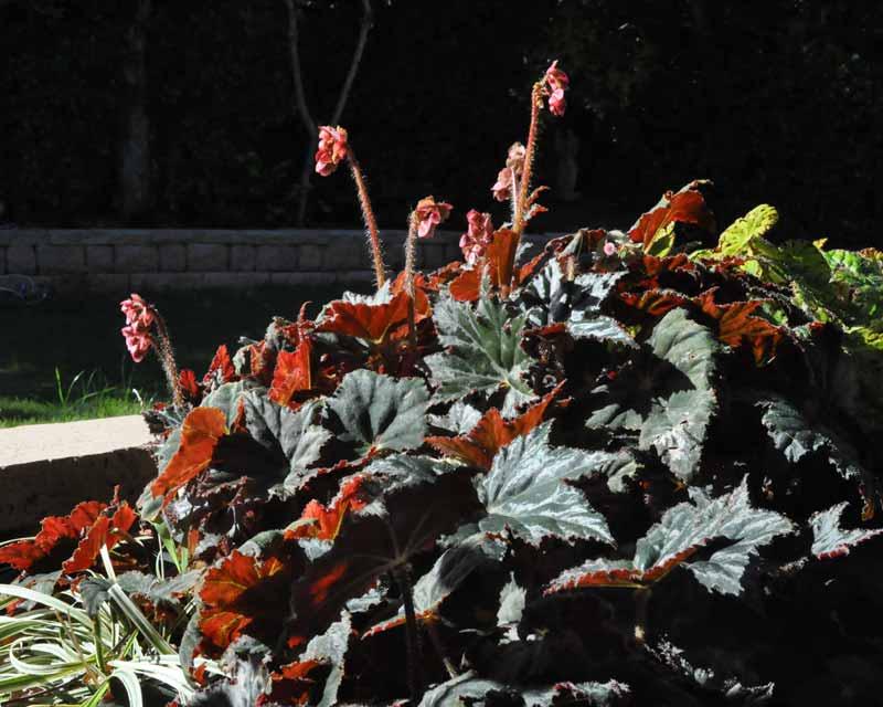 Begonia rhizomatous hybrid possibly Black Fancy