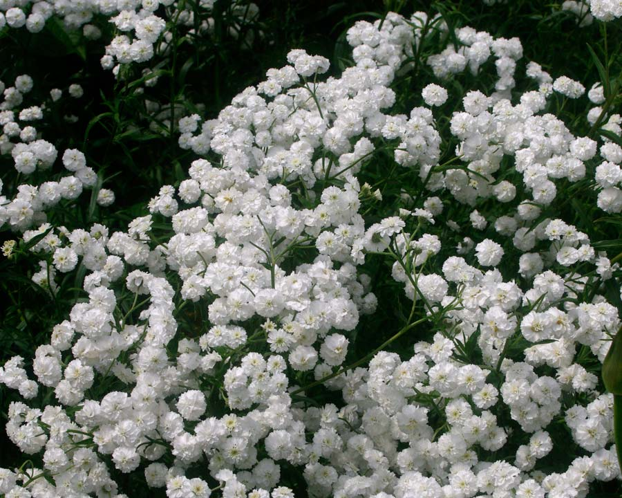Achillea ptarmica 'Perry's White' - mass of small white flowers all summer