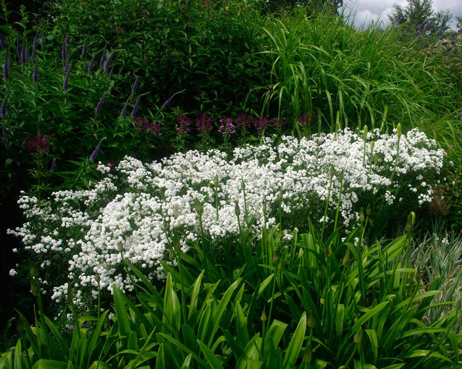 Achillea ptarmica 'Perry's White' - good border plant, mass of small white flowers all summer