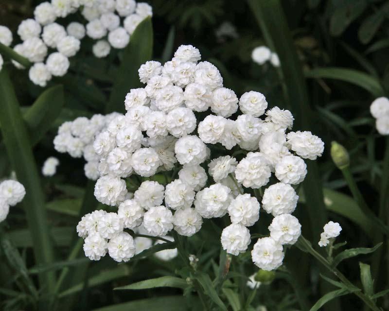 Gardensonline Achillea Ptarmica