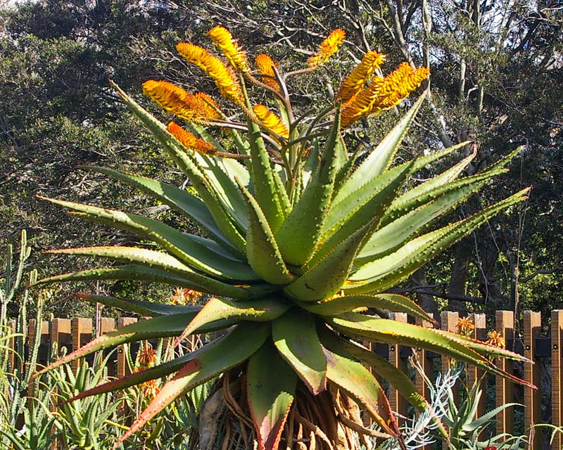 Aloe marlothii  or Mountain Aloe has racemes of yellow flowers