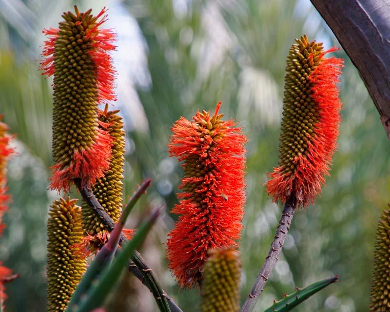 Aloe rupestris - the spikes of red tubular flowers reminiscent of bottlebrush flowers