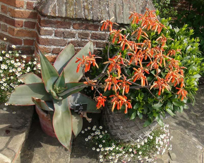 Aloe striata - as seen at Wisley