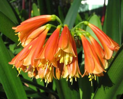 Clivia x crytanthiflora - pendulous orange funnel shaped flowers
