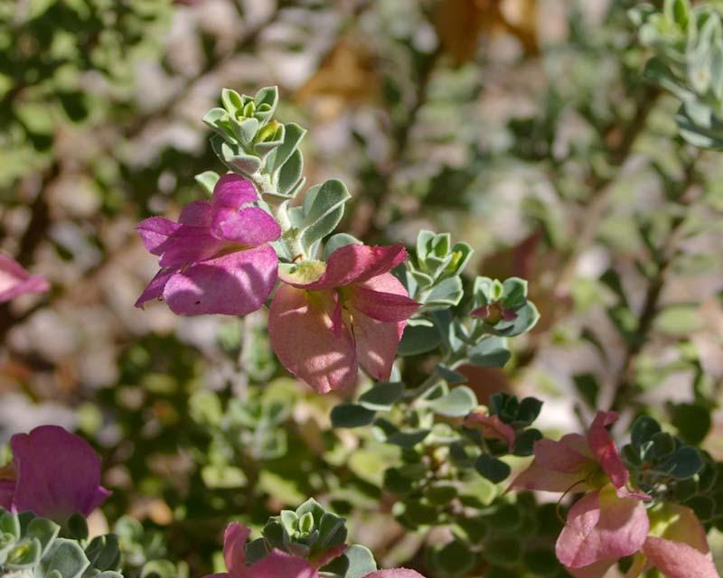 Eremophila cuneifolia