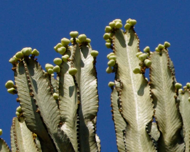 Fruit of Euphorbia ammak