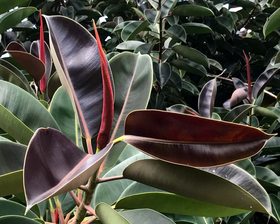 Ficus elastica, Rubber Plant - new leaves protected by red sheath