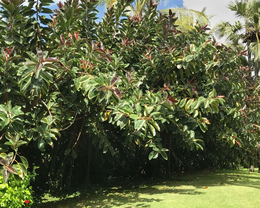 Ficus elastica - Rubber Plant - Pruned to maintain as a bushy screen