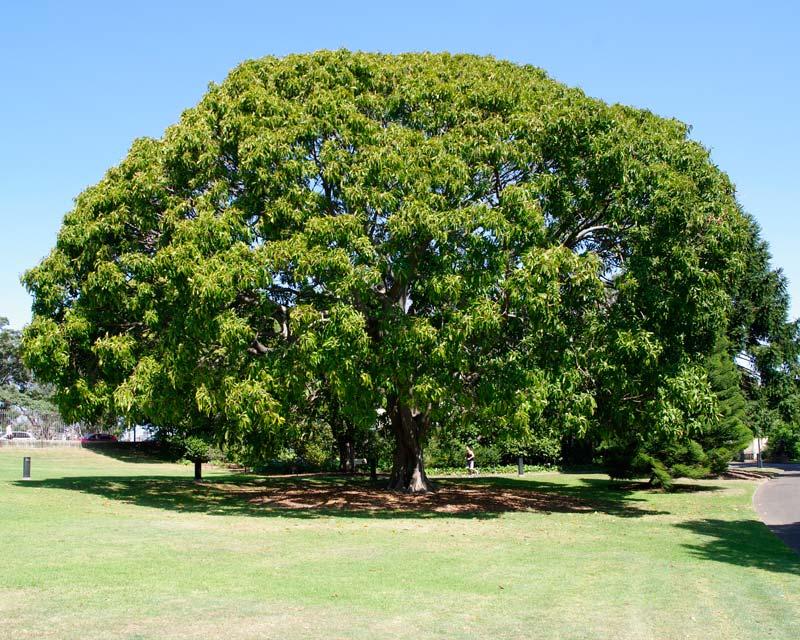 Ficus Lutea Syn F Vogelii Syn F Nekbudu Gardensonline