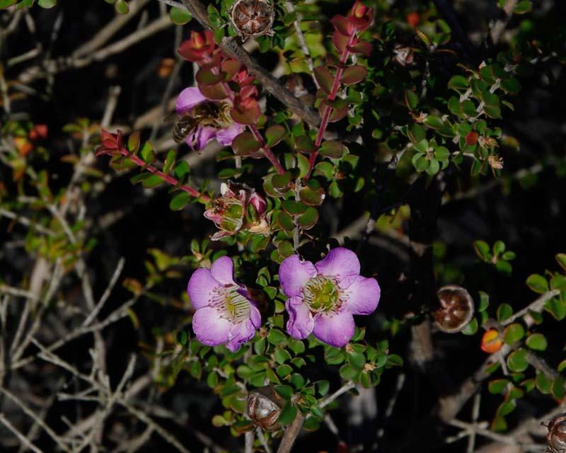Leptospermum rotundifolium Lavender Queen