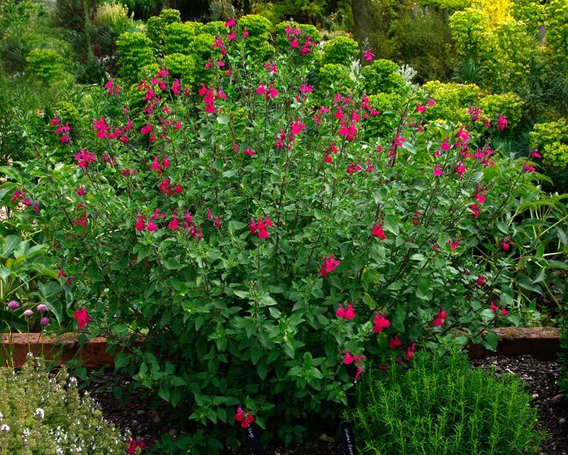 Gardensonline Salvia Microphylla