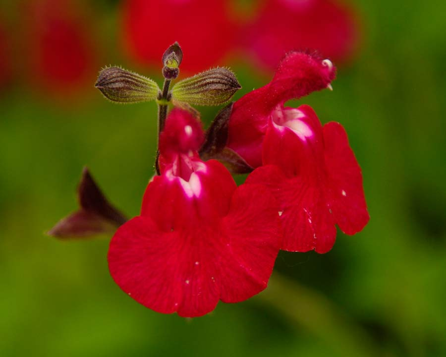 Salvia microphylla 'Ruby Star'  Scarlet flowers
