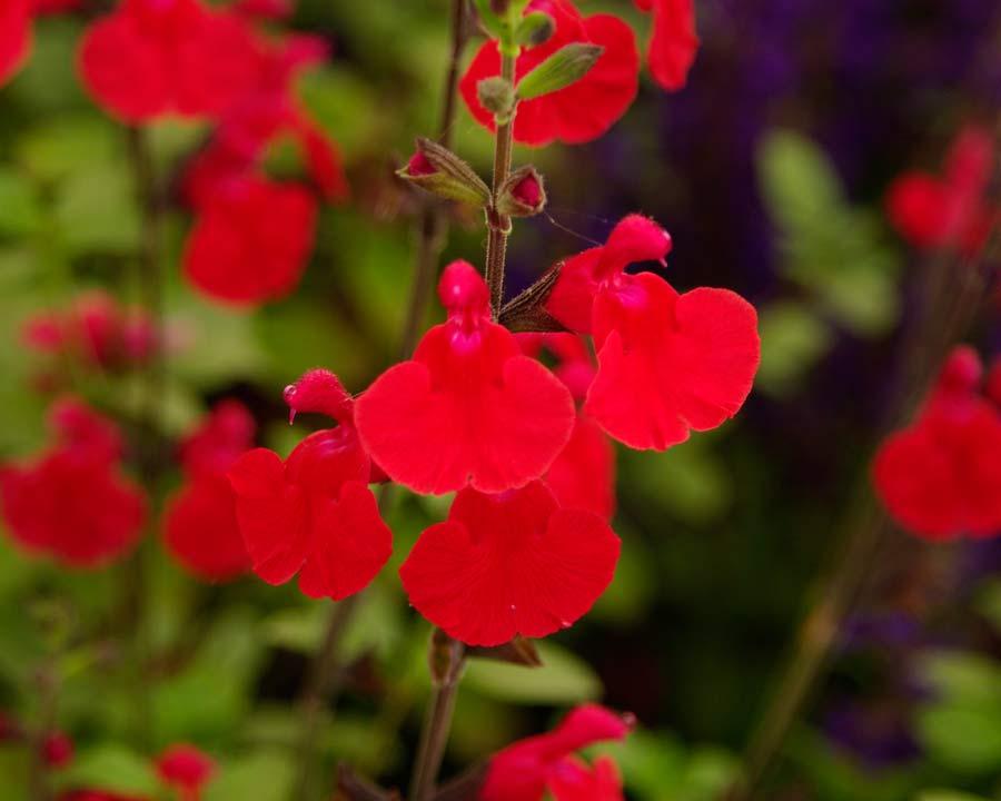 Salvia 'Jezebel' has scarlet flowers parentage Salvia microphylla and Salvia greggii